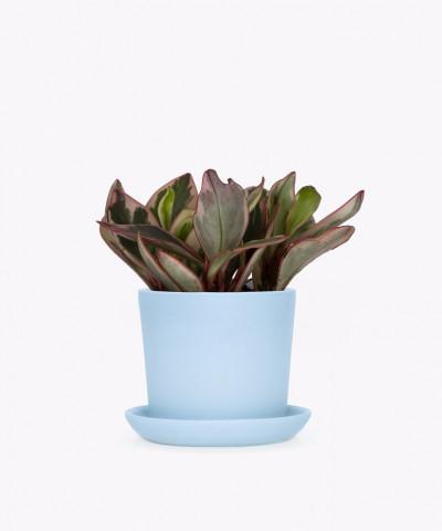 Peperomia Kluzjolistna w niebieskiej doniczce ceramicznej