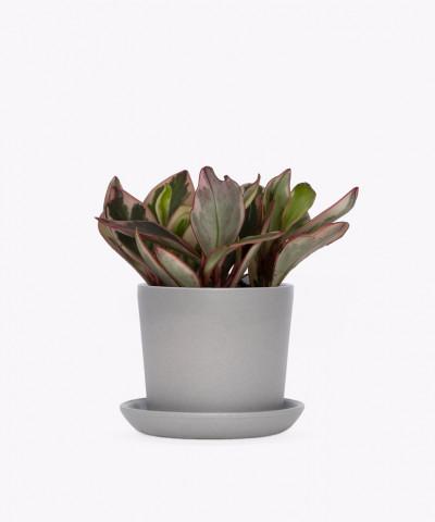 Peperomia Kluzjolistna w szarej doniczce ceramicznej