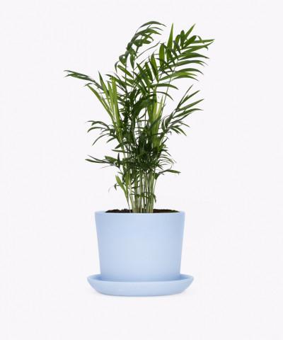 Chamedora Wytworna w niebieskiej doniczce ceramicznej