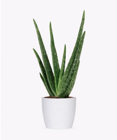 Aloes zwyczajny w białej doniczce betonowej