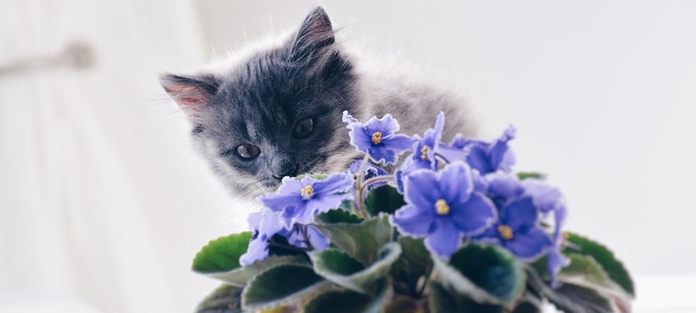 fiołek afrykański i kot