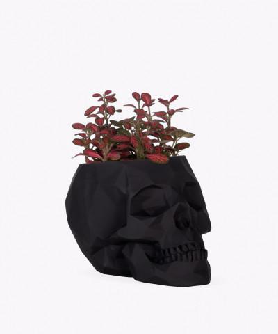 Fitonia w czarnej betonowej czaszce