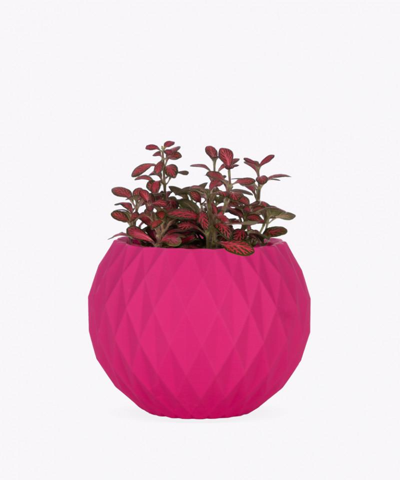 Fitonia Różowa w różowej betonowej kuli
