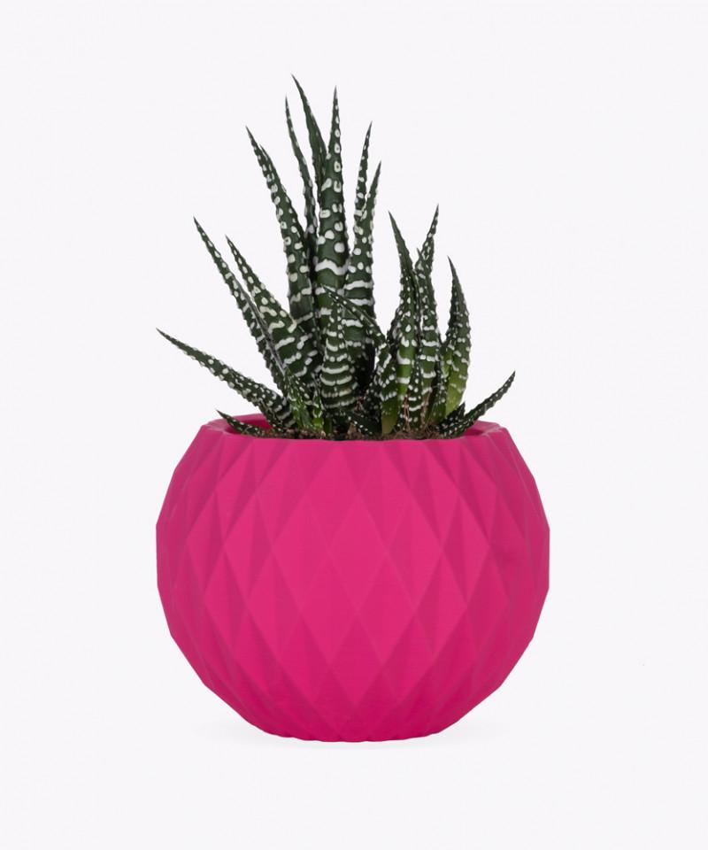Haworsja w różowej betonowej kuli