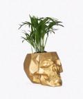Chamedora Wytworna Mini, w złotej betonowej czaszce