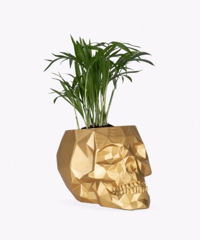Chamedora Wytworna Mini w złotej betonowej czaszce