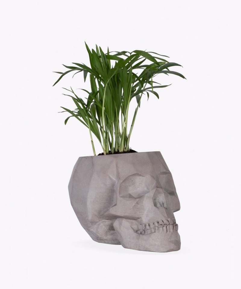 Chamedora Wytworna Mini w szarej betonowej czaszce
