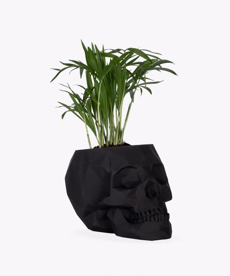 Chamedora Wytworna Mini w czarnej betonowej czaszce