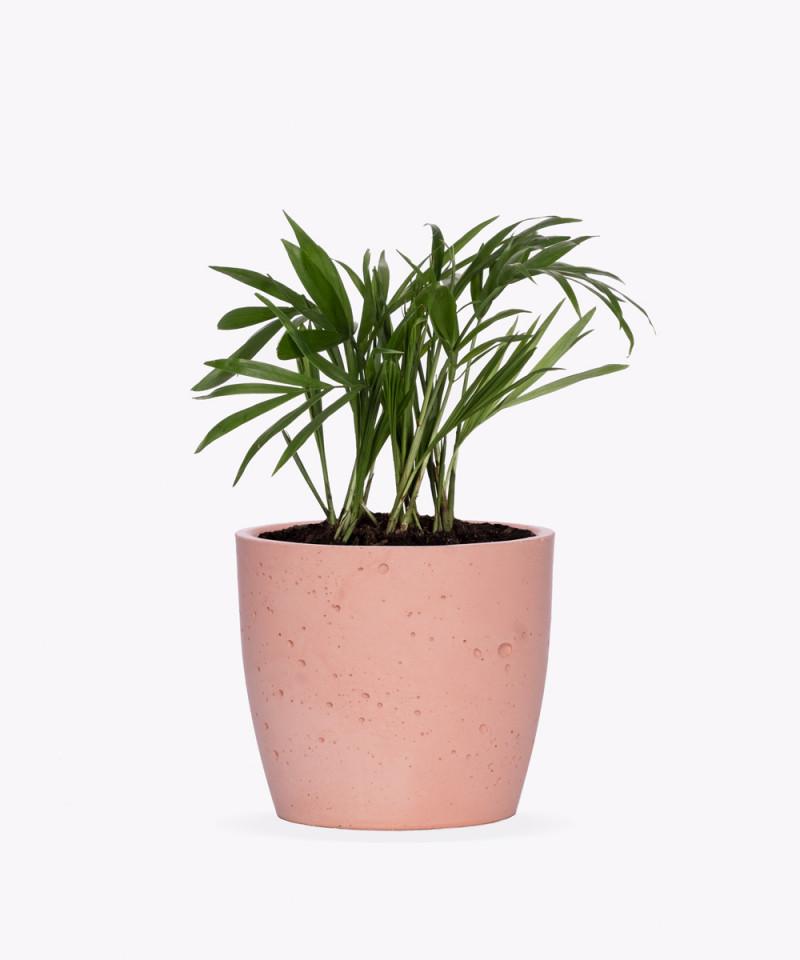 Chamedora Wytworna Mini w różowej doniczce betonowej