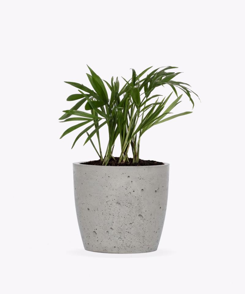 Chamedora Wytworna Mini w szarej doniczce betonowej