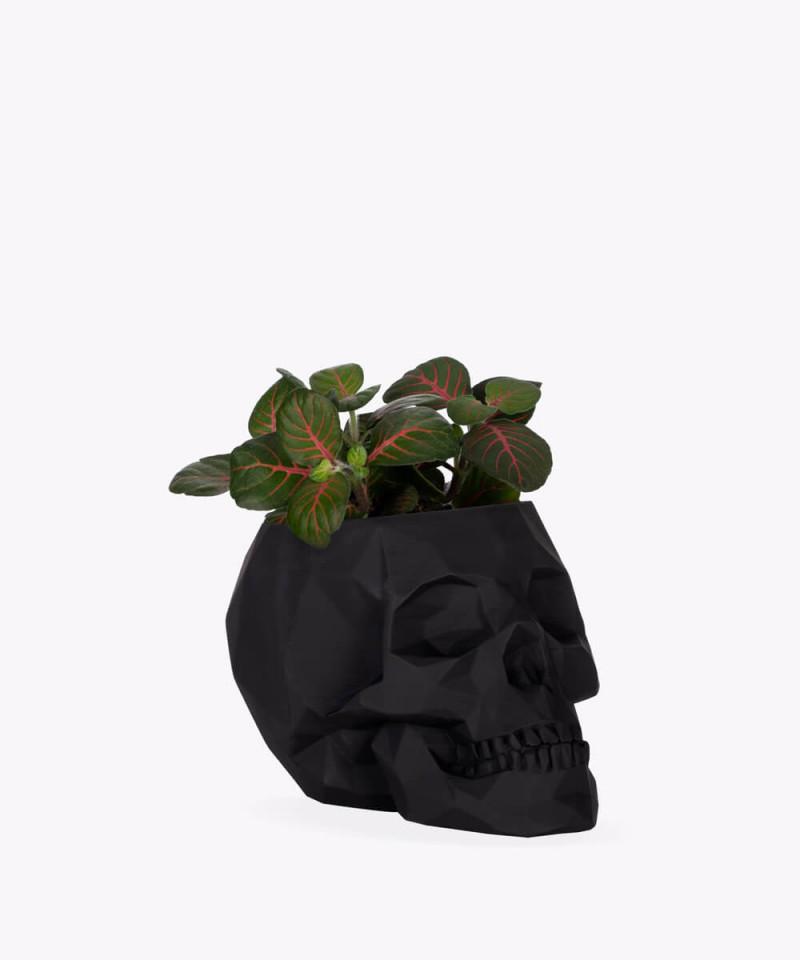 Fitonia zielona w czarnej betonowej czaszce