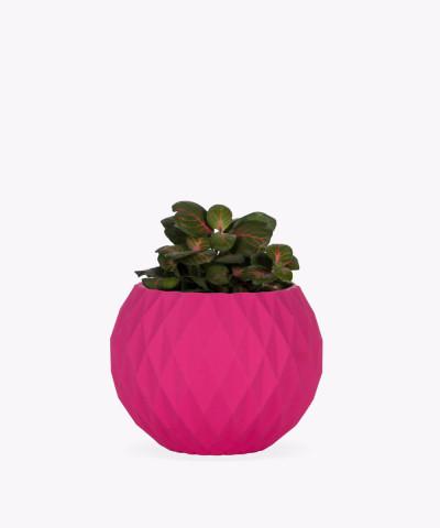Fitonia zielona w różowej betonowej kuli