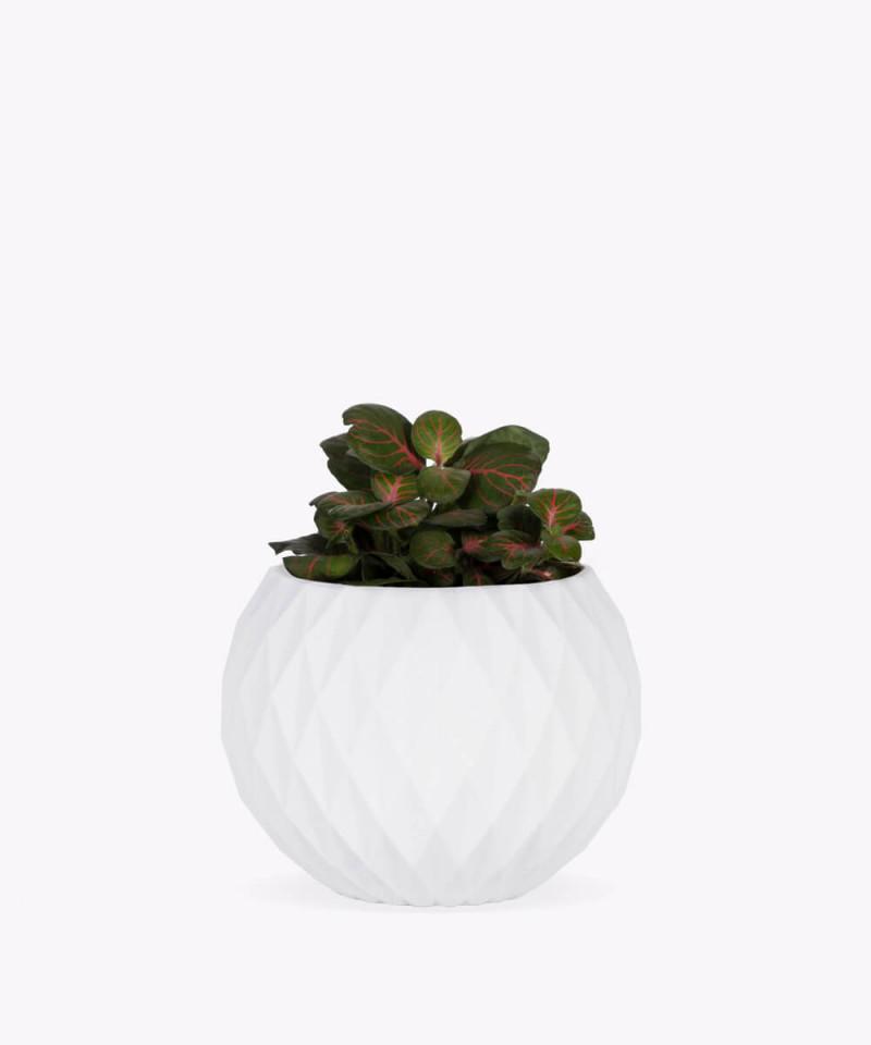 Fitonia zielona w białej betonowej kuli