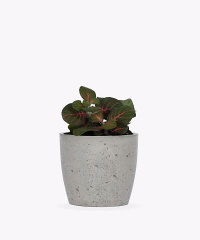 Fitonia zielona w szarej doniczce betonowej