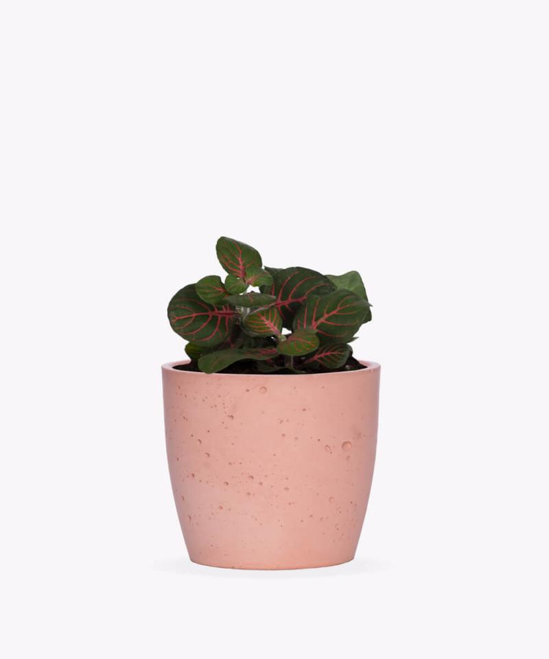 Fitonia Zielona w różowej doniczce betonowej
