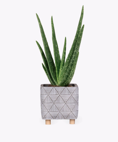 Aloes w etnicznej doniczce kwadratowej z nóżkami