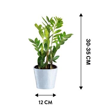 Zamiokulkas zamiolistny mini - Wymiary rośliny w doniczce