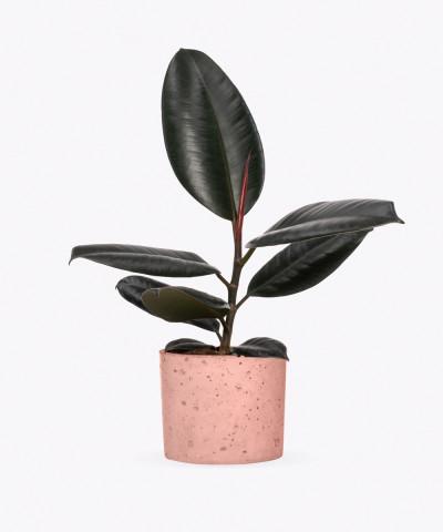 Figowiec Sprężysty w różowym betonowym walcu