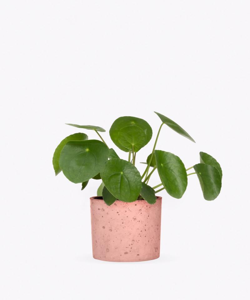 Pilea Peperomiowata w różowym betonowym walcu
