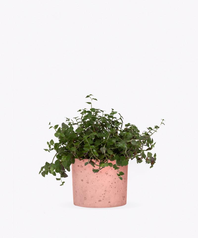 Smużyna Płożąca w różowym betonowym walcu