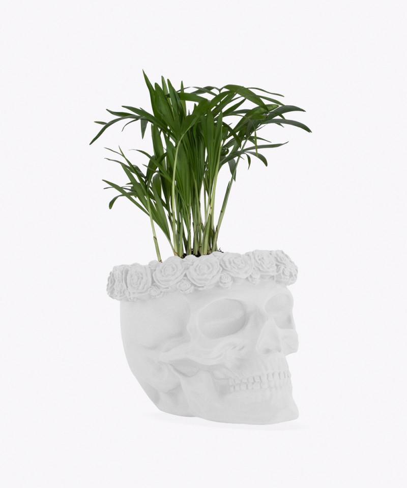 Chamedora Wytworna Mini w białej betonowej czaszce flower