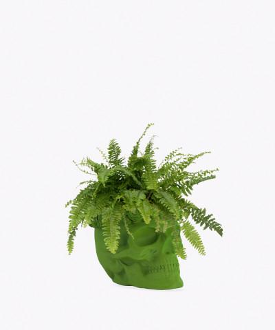 Nefrolepis w zielonej betonowej czaszce flower