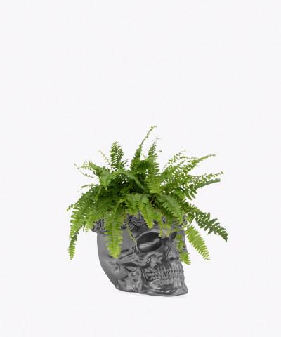 Nefrolepis w stalowej betonowej czaszce flower