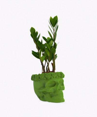 Zamiokulkas Zamiolistny Mini w zielonej betonowej czaszce flower