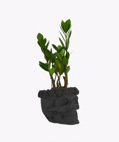 Zamiokulkas Zamiolistny Mini w czarnej betonowej czaszce flower