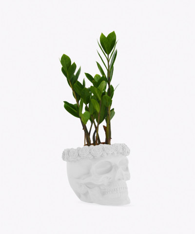 Zamiokulkas Zamiolistny Mini w biała betonowej czaszce flower