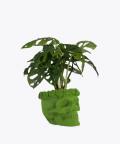 Monstera Perforowana, w zielonej betonowej czaszce flower