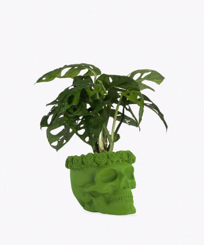 Monstera Perforowana w zielonej betonowej czaszce flower