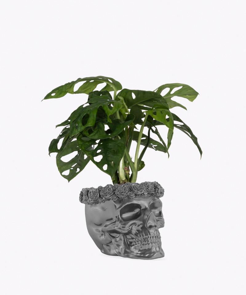 Monstera Perforowana w stalowej betonowej czaszce flower