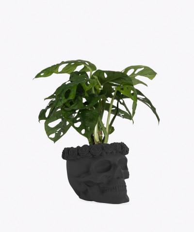 Monstera Perforowana w czarnej betonowej czaszce flower
