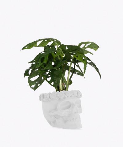 Monstera Perforowana w białej betonowej czaszce flower