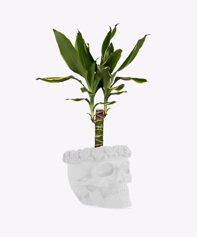 Dracena w białej betonowej czaszce flower