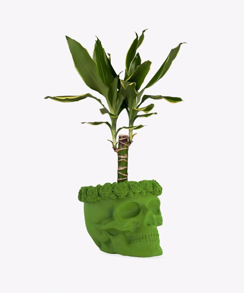 Dracena w zielonej betonowej czaszce flower