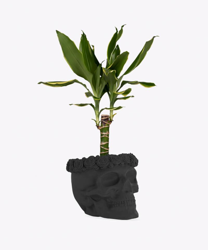 Dracena w czarnej betonowej czaszce flower