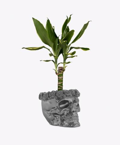 Dracena w stalowej betonowej czaszce flower