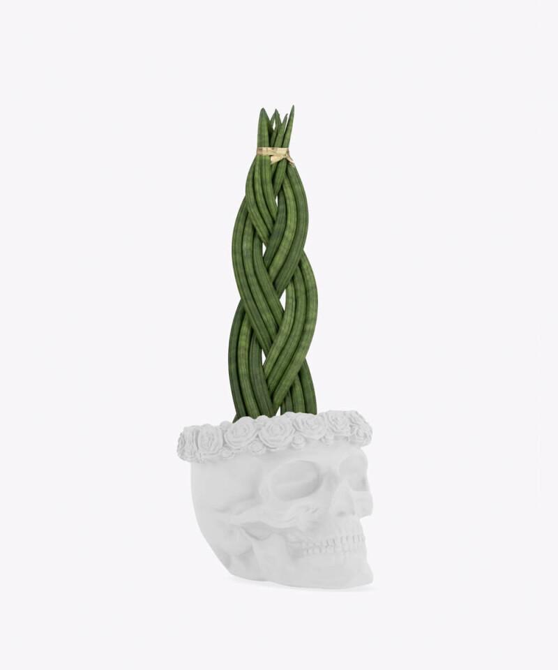 Sansewieria Cylindryczna Warkocz w białej betonowej czaszce flower
