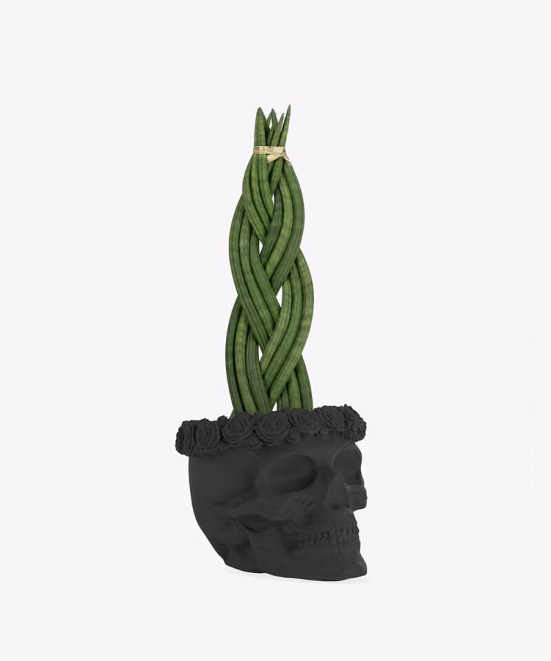 Sansewieria Cylindryczna Warkocz w czarnej betonowej czaszce flower