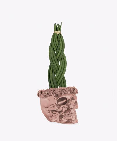 Sansewieria Cylindryczna Warkocz w rose gold betonowej czaszce flower