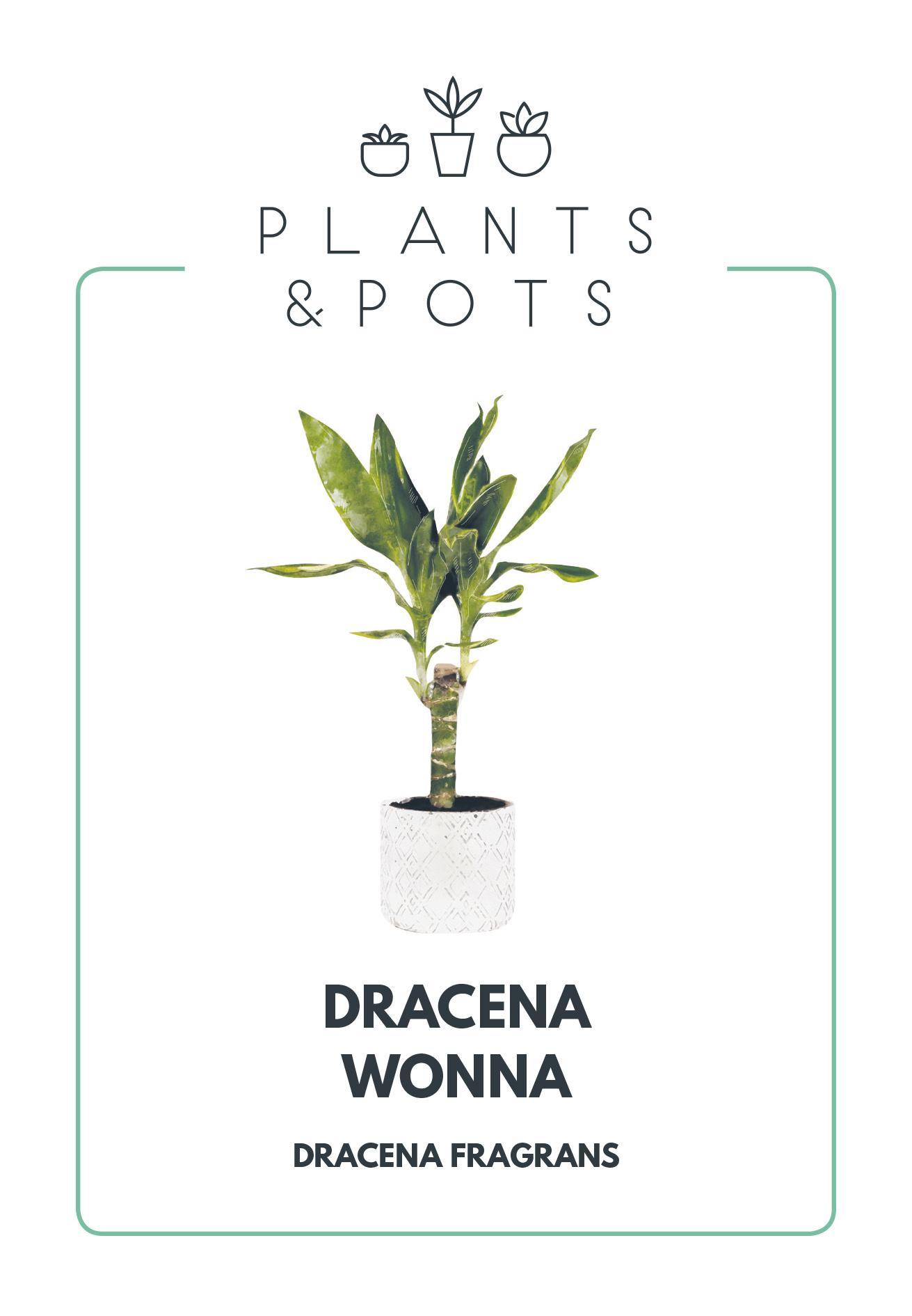 Dracena Wonna - Pielęgnacja