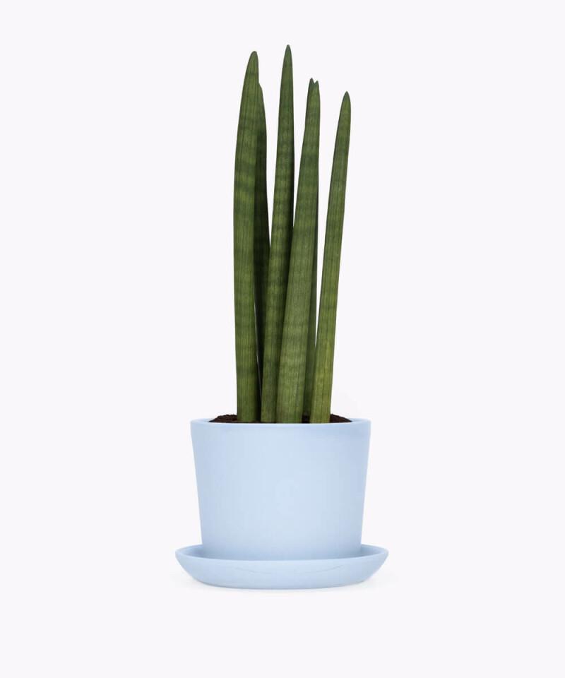 Sansewieria Cylindryczna w niebieskiej doniczce ceramicznej
