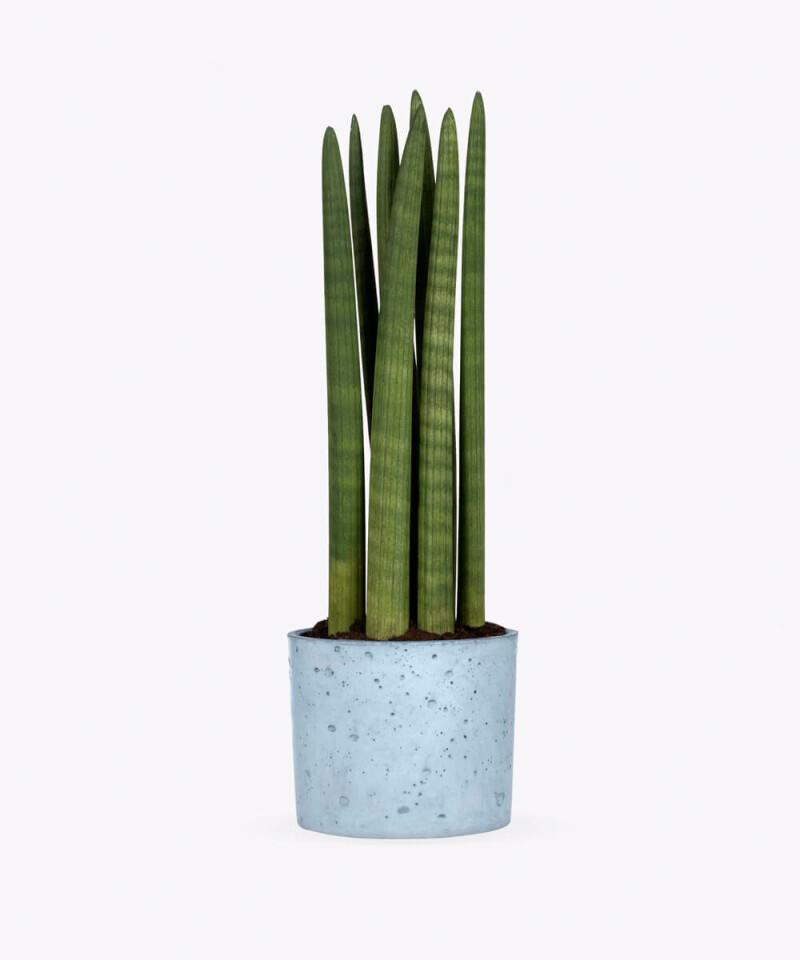 Sansewieria Cylindryczna w niebieskim betonowym walcu