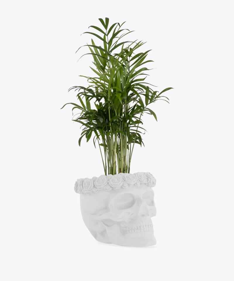 Chamedora Wytworna w białej betonowej czaszce flower