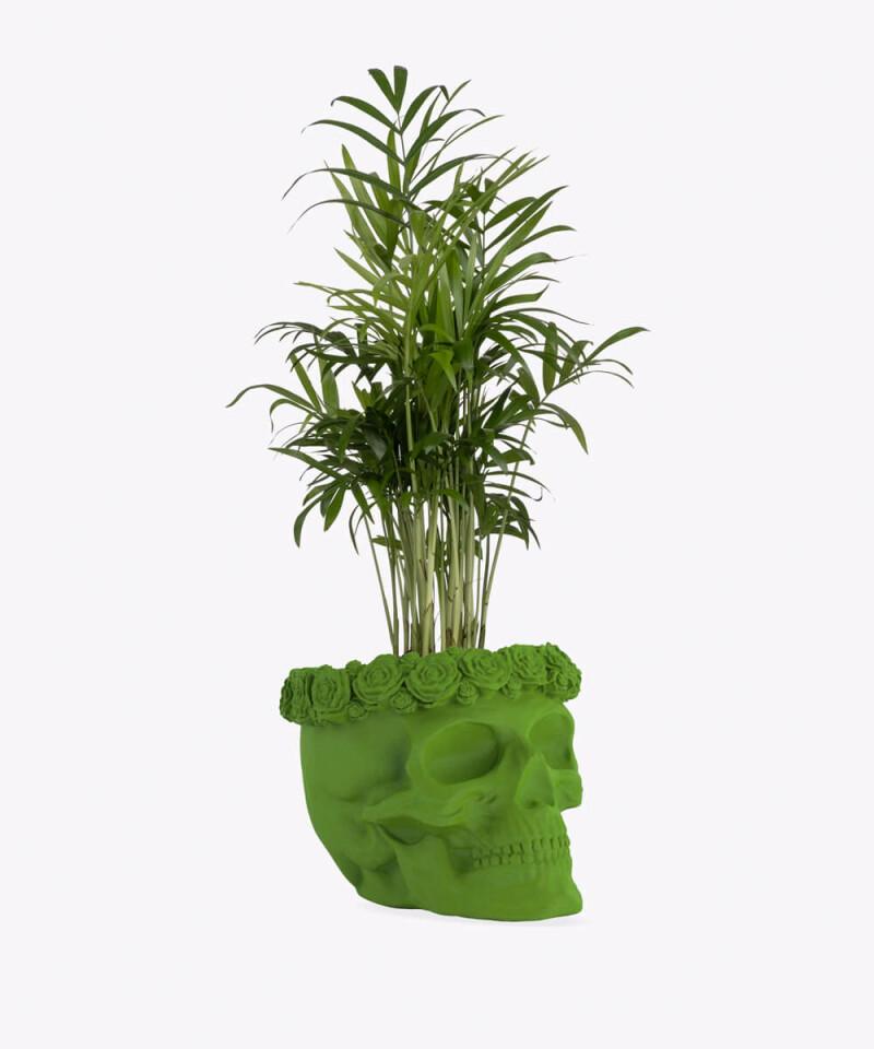 Chamedora Wytworna w zielonej betonowej czaszce flower