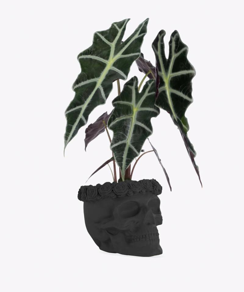 Alokazja w czarnej betonowej czaszce flower
