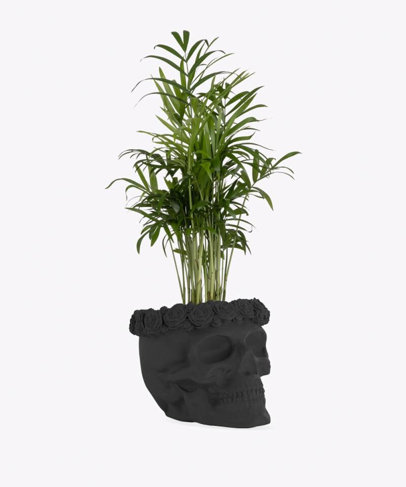 Chamedora Wytworna w czarnej betonowej czaszce flower
