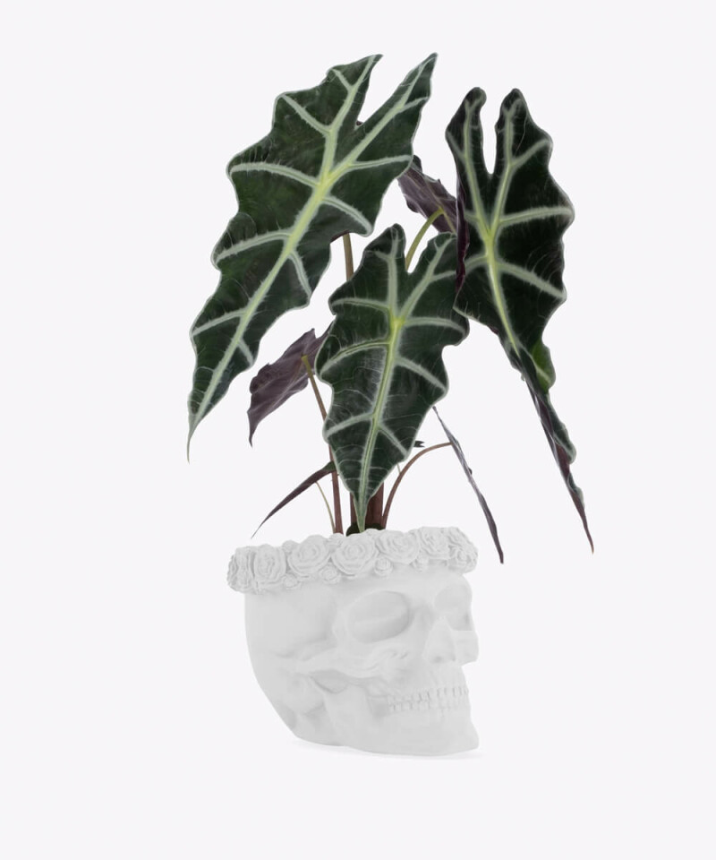 Alokazja w białej betonowej czaszce flower